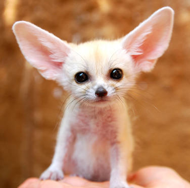 Folie 1 von 36: Fennec fox everland.korea