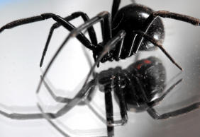 A black widow spider walks on a mirror in a garage at a home in Great Falls, Mont., on Monday, Nov. 5, 2007.