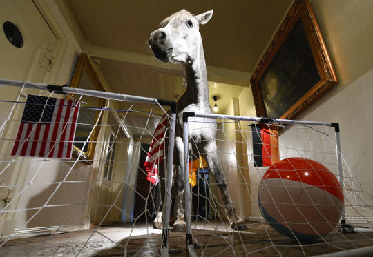 Arabian horse Nasar plays the ball into the German goal, set up in a corridor of an old farm house in Holt, northern Germany on June 25, 2014, an event to predict the outcome of the upcoming World Cup Championship 2014 football match USA vs Germany on June 26.