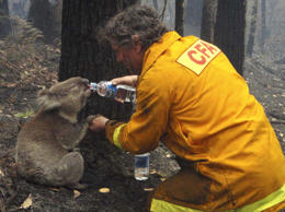 FILE - Local CFA firefighter David Tree shares his water with an injured Australian Koala at Mirboo North after wildfires swept through the region on Monday, Feb. 9, 2009. Suspicions that the worst wildfires ever to strike Australia were deliberately set led police to declare crime scenes Monday in towns incinerated by blazes, while investigators moving into the charred landscape discovered more bodies. The death toll stood at 181.(AP Photo/Mark Pardew)