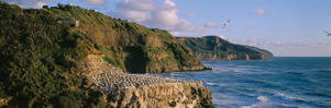 Muriwai, the beach 40km northwest of Auckland.