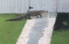 Alligator makes house call