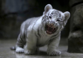 A newly born Indian white tiger cub yawns in its enclosure at Liberec Zoo, Czech Republic, April 25, 2016. REUTERS/David W Cerny TPX IMAGES OF THE DAY