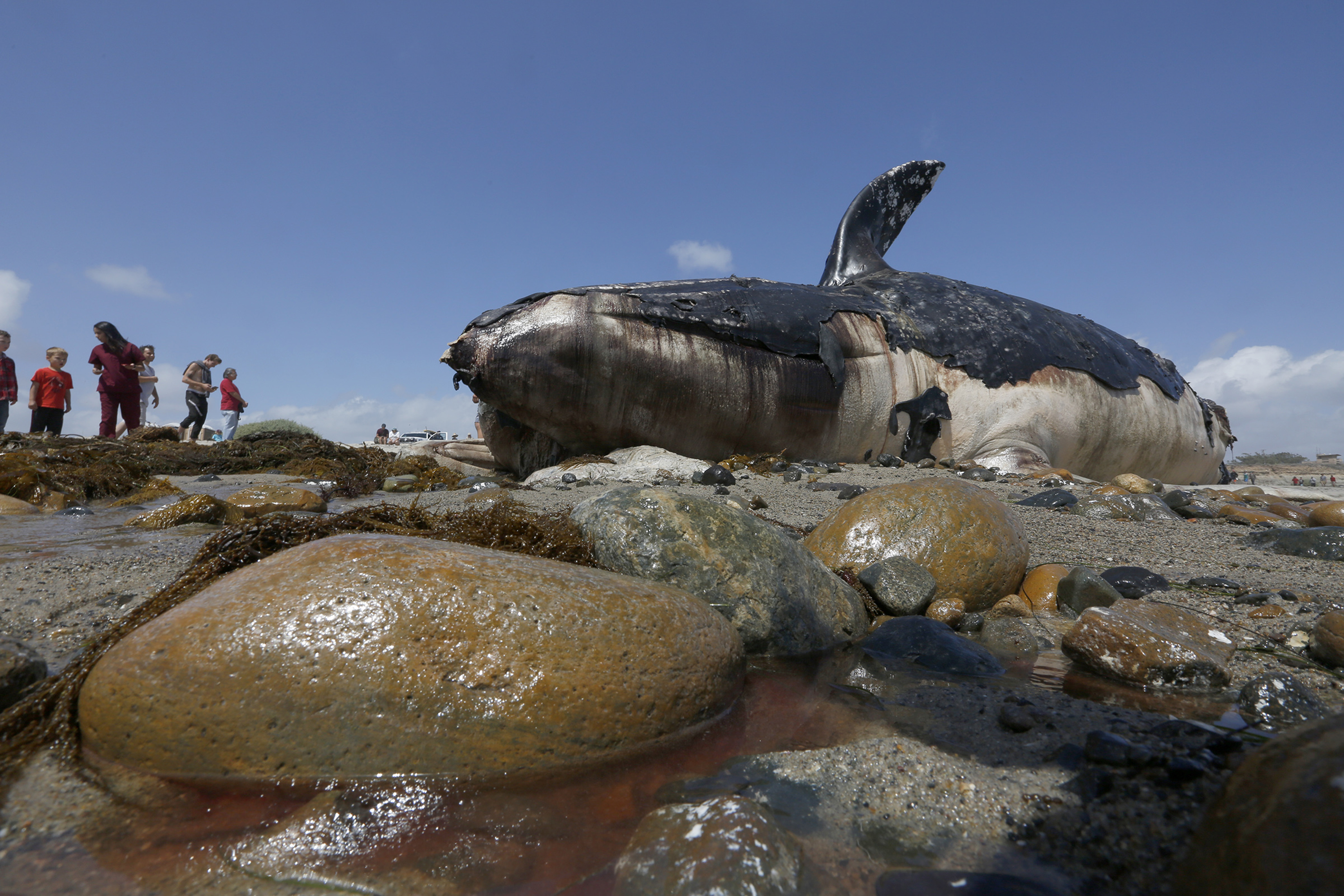Whale carcass that washed ashore on California beach to be cut up and trucked away