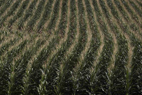"A corn field is seen in DeWitt, Iowa July 12, 2012. Oklahoma voters will be asked a simple question in the November election of whether they back a ""right to farm"" being enshrined in the state's constitution."