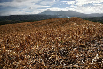 COTABATO, MINDANAO, PHILIPPINES - APRIL 08: A dried up corn field in Arakan on April 8, 2016 in Cotabato, Mindanao, Philippines. The heatwave brought on by the El Nino weather phenomenon has severely affected food and water supplies in many countries.