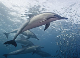 A lucky spotting of common dolphins might mean a pod numbering in the hundreds—they're delightfully playful,