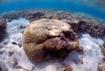 A large piece of coral can be seen in the lagoon on Lady Elliot Island, on the Great Barrier Reef, northeast from Bundaberg town in Queensland, Australia, June 9, 2015.