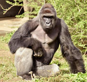 File: Harambe, a 17-year-old gorilla at the Cincinnati Zoo is pictured in this undated handout photo provided by Cincinnati Zoo.