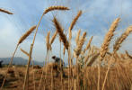 A farmer harvests wheat