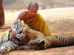 "In this Feb, 12, 2015 file photo a Thai Buddhist monk gives water to a tiger from a bottle at the ""Tiger Temple"" in Saiyok district in Kanchanaburi province, west of Bangkok, Thailand."