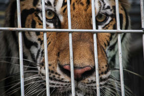 A tiger peers through the bars of its cage at the Wat Pha Luang Ta Bua Tiger Tem...