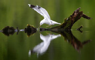 A gull rests on a driftwood on a pond at a forest near the village of Svisloch, 30 km (19 miles) east of Belarus capital Minsk, Tuesday, May 17, 2016, as spring weather is established across Belarus. (AP Photo/Sergei Grits)