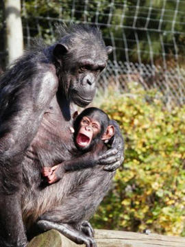Hamilton Zoo has named its baby chimpanzee Chiku.