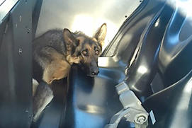 A German Shepard, named Freeway Frida sits in the back of a Galt police car after being collared by officers on, May 13.