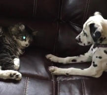 Puppy just wants to play with cat