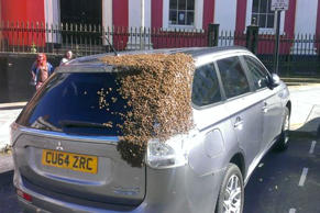 A swarm of bees clings to the back of a car.