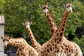 Giraffes stand in their enclosure at the African Reserve (Réserve Africaine ) of Sigean, southern France on May 24, 2016.    / AFP / RAYMOND ROIG        (Photo credit should read RAYMOND ROIG/AFP/Getty Images)