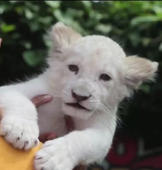 Texas zoo welcomes rare white lion cub