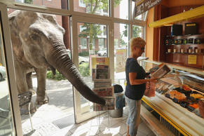 BERLIN, GERMANY - JULY 01:  Maja, a 40-year-old elephant, extends her trunk into a bakery as a customer buys a newspaper while Maja took a stroll through the neighborhood with her minders from a nearby circus on July 1, 2016 in Berlin, Germany. Maja perf