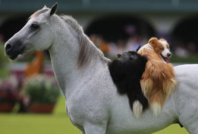 Two dogs ride on the back of a horse during a display by entertainer Santi Serra, on day five of the Dublin Horse Show on July 28.