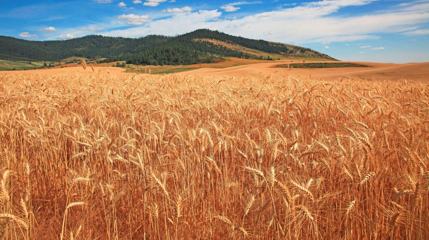 Close view of golden wheat with the grain ready for harvest in a field in southeastern Washington state on a sunny summer day, Southeastern Washington state along north south state highway 27 near Tekoa, Washington in a unique region known by local residents as the Palouse hills. The Palouse were a Native American Indian tribe that lived in this area before the arrival of white settlers in the mid 1800s.