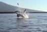 Orca tosses Sea Turtle out of water