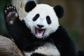 TOPSHOT - One-year-old female giant panda cub Nuan Nuan reacts inside her enclosure during joint birthday celebrations for the panda and its ten-year-old mother Liang Liang at the National Zoo in Kuala Lumpur on August 23, 2016. Giant pandas Liang Liang, aged 10, and her Malaysian-born cub Nuan Nuan, 1, were born on August 23, 2006 and August 18, 2015 respectivetly. / AFP / MOHD RASFAN (Photo credit should read MOHD RASFAN/AFP/Getty Images)