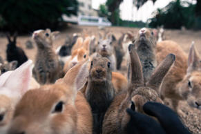 "<p>Nicknamed ""Rabbit Island"", Ōkunoshima is a real little paradise for long-eare..."