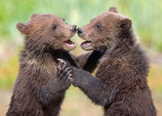 Bear cubs appear to be dancing together, Alaska, USA - Aug 2016 Bear cubs appear to be dancing together