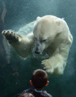 Polar bear interacts with boy at Columbus Zoo and Aquarium, Ohio, USA - Aug 2016 The polar bear comes face to face with the boy at the window while swimming underwater