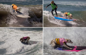 Surf's Up! As dogs in California take part in surfing competition