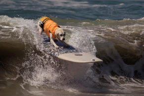 HUNTINGTON BEACH, CA - SEPTEMBER 25:  A surfing dog rides a wave during the Surf Dog Competition at the 8th annual Petco Surf City Surf Dog event on September 25, 2016 in Huntington Beach, California. Dogs owners are expect to attend the dog surfing comp