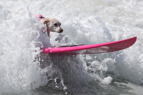 A dog rides a wave during the Surf City Surf Dog competition in Huntington Beach, California, U.S., September 25, 2016.