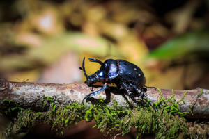 The beetles - specially bred by Landcare Research to tackle tradescantia, or wandering willie - have been released in the William Hall Arboretum and Walk at Thames.