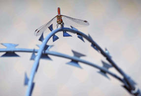 <p>A dragonfly rests on the barbed wire fence separating Horgos, Serbia, from the Hungarian border on Friday. Hungarians will vote Sunday in a referendum that seeks to oppose plans by the European Union to resettle asylum seekers among its member states.</p>
