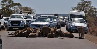 Feasting lions cause traffic chaos