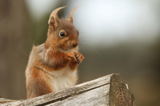 Slide 2 of 51: Red Squirrel (Sciurus vulgaris). The red squirrel is native to Britain, but its future is increasingly uncertain as the introduced American grey squirrel expands its range across the mainland. There are estimated to be only 140,000 red squirrels left in