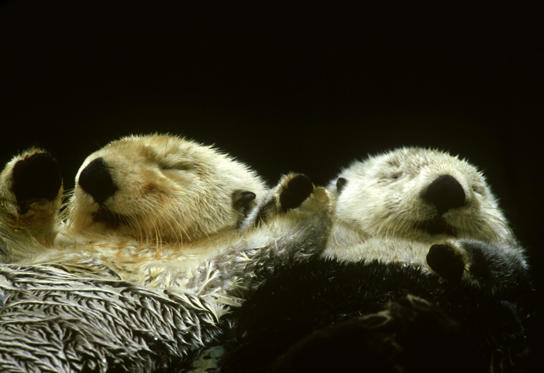 Slide 1 of 50: SEA OTTERS SLEEPING & HOLDING PAWS. ENHYDRA  LUTRIS. BRITISH COLUMBIA,  CANADA.