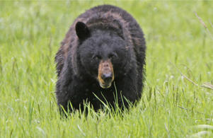 FILE: A black bear walks across a meadow near Tower Fall in Yellowstone National Park, Wyoming in this file photo taken June 20, 2011.