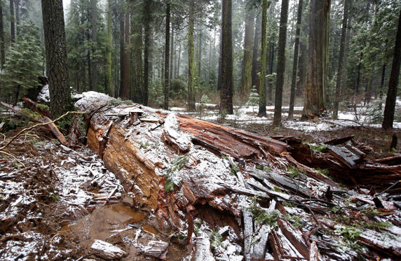"Slide 1 of 13: Snow partially covers the fallen Pioneer Cabin Tree at Calaveras Big Trees State Park, Monday, Jan. 9, 2017, in Arnold, Calif. Famous for a ""drive-thru"" hole carved into its trunk, the giant sequoia was toppled over by a massive storm Sunday. (AP Photo/Rich Pedroncelli)"