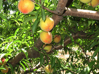 In this July 2013 file photo, peaches ripen on a branch at Chappell Farms orchard in Kline, S.C.