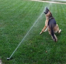 Dog loves to play with sprinklers