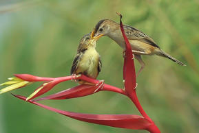 Zitting Cisticola pictured feeding its child, on March 26, 2017 in West Sumatra, Indonesia.