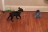 French bulldog puppy helps mopping the floor
