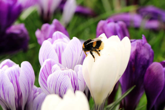 Slide 1 of 13: Seasonal weather, Surrey, UK - 11 Mar 2017 A bee sits on purple and white spring crocus flowers pictured at RHS Wisley Gardens, Wisley