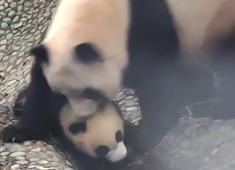 Panda cubs rebel against mother