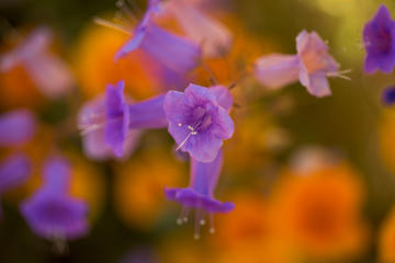 HEMET, CA - MARCH 16: Canterbury bells bloom after prolonged record drought gave way to heavy winter rains, causing one of the biggest wildflower blooms in years on March 16, 2017 at Diamond Valley Lake, near Hemet, California. The winter storms brought relief to most of the region suffering years of worsening record drought conditions though aquifers remain very low and would require many more years of heavier than average rainfall to recharge water tables to pre-drought levels.  (Photo by David McNew/Getty Images)