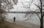 A woman jogs past damaged cherry blossom trees as they begin to bloom around the Tidal Basin in Washington, DC, March 18, 2017.