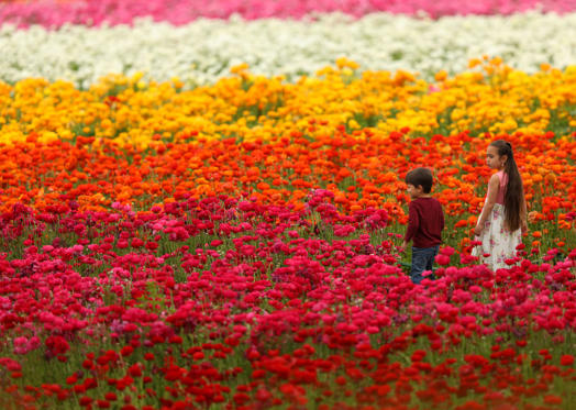 Slide 1 of 24: On the first day of Spring kids walk through a field of blooming Giant Tecolote Ranunculus flowers at the Flower Fields in Carlsbad, California, U.S., March 20, 2017. REUTERS/Mike